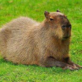 Lightning Capybaras